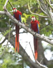 scarlet macaw pair tree, carate, costa rica