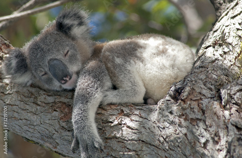 In de dag Koala Koala asleep in tree