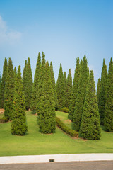 Nice shape pine tree
