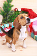 canvas print picture - Beagle dog with Christmas gifts on wooden background