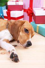Beagle dog with Christmas gifts on wooden background