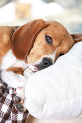 Tired beagle dog on pillow, closeup