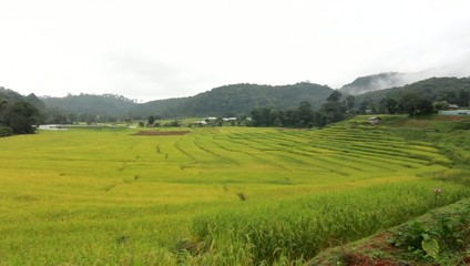 Green rice Chiang Mai thailand