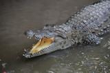 Fotoroleta Adult Dangerous Crocodile