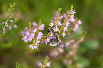 bumble bee on a flowering heather