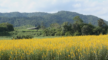 Yellow flower fields with mountain background