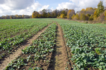 rapeseeds seedling crop field in autumn time
