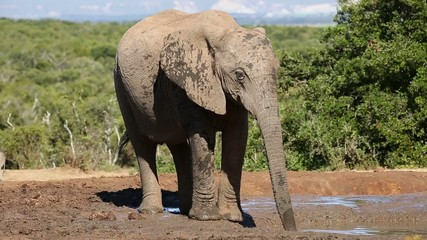 African elephant cow drinking water
