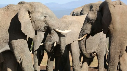 Close-up of African elephants interacting at waterhole