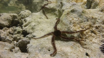 A small brittle starfish moving in a rock pool