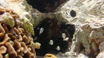 Underwater view of small pufferfish in a rock pool
