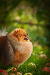 Pomeranian dog Beautiful dog