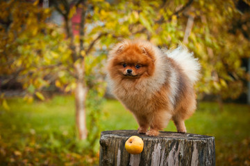 Pomeranian dog Beautiful dog