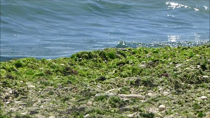 Video footage of a beach coastline covered with seaweed