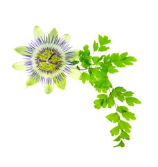 passion flower and young green fern branch isolated on white bac