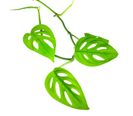 beautiful young green monstera (var. expilata) branch isolated o