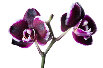 beautiful dark cherry with white rim orchid phalaenopsis is isol
