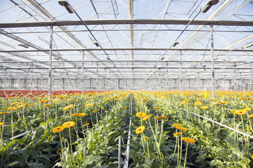 orange and red gerbera in greenhouse with blue sky
