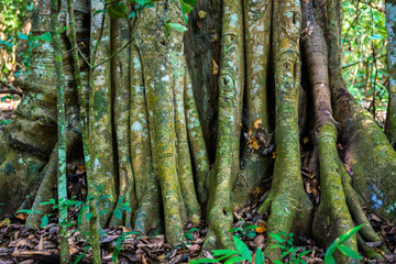 Big tree roots or stems in rainforest National park Periyar Wild