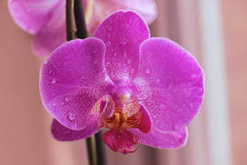 Flowers of pink orchid on the windowsill