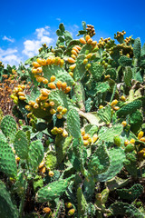 Prickly pear cactus plant ( opuntia ficus-indica)