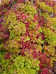 Colorful Virginian creeper in autumn colours
