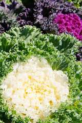 close up image of Korean Lettuce