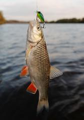 Chub caught on a plastic bait