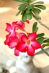 Desert rose flower