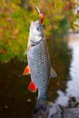 Chub caught on a plastic bait, autumn scenics