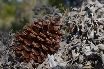 large pine cone in the Patagonian steppe, Bariloche