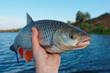 Big chub in fisherman's hand - 73241779