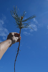 Lodgepole pine seedling with long taproot