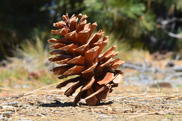 pine cone on ground