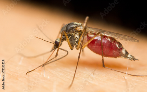 Close-up of a mosquito sucking blood - 73243529