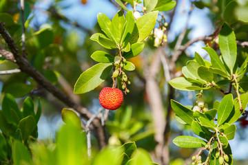 "Wild ""medronho"" - arbutus- typical portuguese fruit"