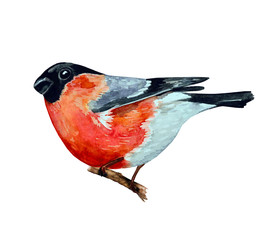 watercolor painting bullfinch on branch. vector illustration