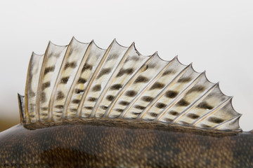 Dorsal fin of a walleye (pike-perch)