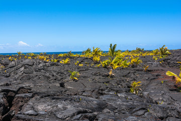 Palms growing on the lava flow in Big Island