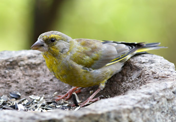 Bird feeding sunflower seeds from the feeder. Greenfinch. Cardue