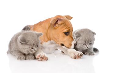 stafford puppy and two kittens lying together. isolated on white