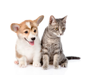 Pembroke Welsh Corgi puppy sitting with cat together and looking