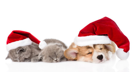 Pembroke Welsh Corgi puppy with red santa hats and two kittens s
