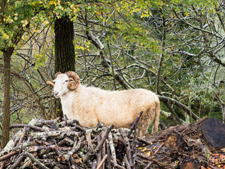 Majestic ram in woods, sheep with horns. Profile.