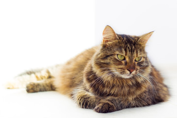 Portrait of brown-eyed cat isolated on white background