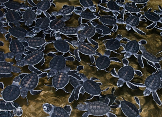 Group of little hatched  sea turttles