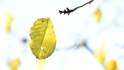 Herbstlich gefärbtes Blatt im Wind