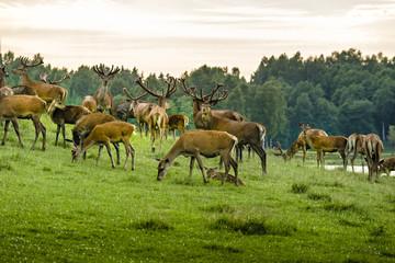 A herd of deer in the wet  meadow