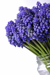 botanic, hyacinthus, botryoides, muscari, flowers, spring