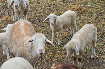 Sheep animal